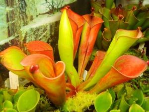 Heliamphora folliculata.jpg
