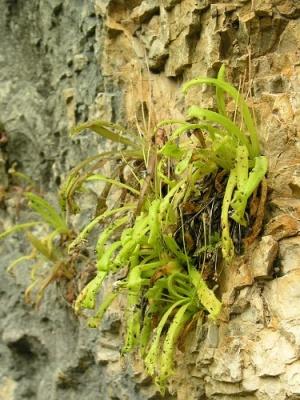 P longifolia.jpg