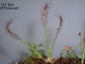 Drosera camporupestris2.JPG