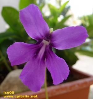 Oblongiloba moranensis fiore.jpg